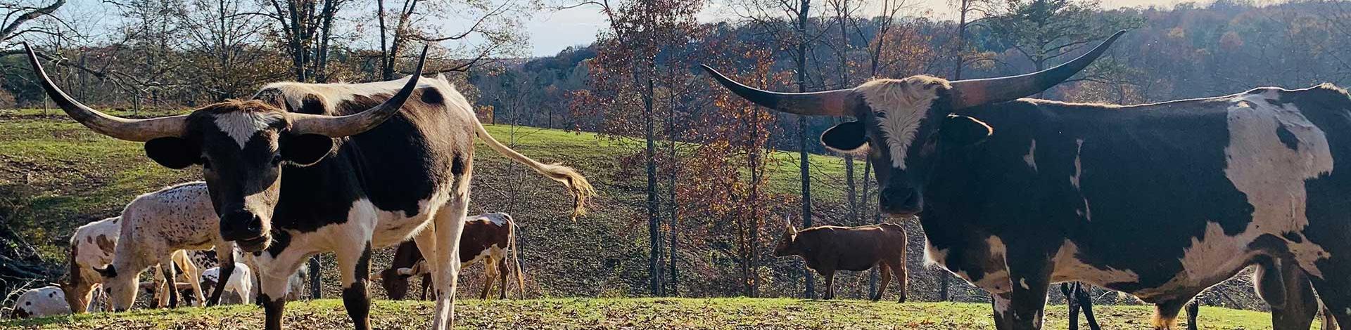 longhorn-beef